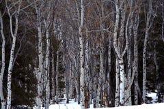 Aspen Grove in Winter Stock Photos