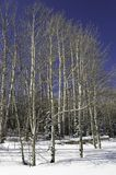 Aspen grove in winter. Royalty Free Stock Photography