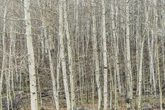 Aspen grove in winter Royalty Free Stock Image