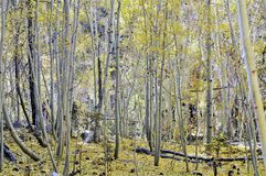 Aspen Grove With Yellow Falling Leaves in Autumn. Colorful  Aspen grove of white bark trees with ground covered by bright yellow Royalty Free Stock Image