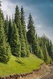 Aspen groves in rocky mountains Royalty Free Stock Photos