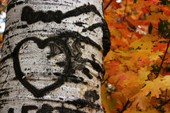 Aspen With Heart Carving Royalty Free Stock Image