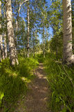 Aspen Hiking Trail Stock Photography