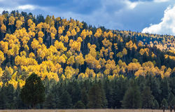 Aspen Hill. Forest of tall white aspen trees in Aspen Stock Image
