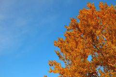 Aspen-Krone im goldenen Herbstlaub auf Hintergrund des blauen Himmels Stockfotografie