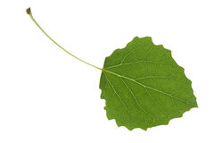 Aspen leaf. Isolated on a white Stock Image