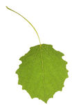 Aspen leaf. Isolated on the white Stock Photos