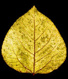 Aspen leaf. Yellow gold aspen leaf Royalty Free Stock Images