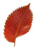 Aspen leaf Stock Images