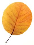 Aspen leaf. Yellow dried aspen leaf on white background (isolated Royalty Free Stock Photos