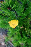Aspen Leaf. Newly fallen Aspen leaf resting on evergreen royalty free stock photo