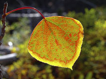 Aspen leaf Stock Photos