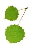 Aspen leaf. Isolated on white Stock Photos