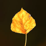 Aspen Leaf. Up close Royalty Free Stock Photography