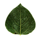 Aspen leaf Royalty Free Stock Image