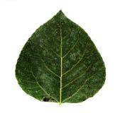 Aspen leaf. Green aspen leaf  hi res Royalty Free Stock Image