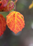 Aspen leaf Royalty Free Stock Images
