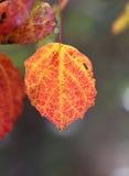 Aspen leaf. Close-up of beautiful red sunlit aspen leaf Royalty Free Stock Images