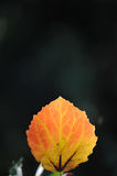 Aspen leaf. Closeup in the light of the sun. A symbol of approaching autumn Royalty Free Stock Photography