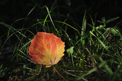 Aspen leaf. Closeup in the light of the sun. A symbol of approaching autumn Stock Photography