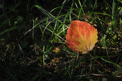 Aspen leaf. Closeup in the light of the sun. A symbol of approaching autumn Royalty Free Stock Photos