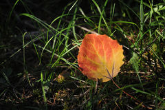 Aspen leaf. Closeup in the light of the sun. A symbol of approaching autumn Stock Photo