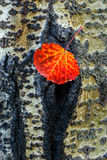 Aspen leaf. Colorful aspen leaf has fallen and got stuck on the tree trunk Royalty Free Stock Photography