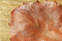 Aspen leaf Royalty Free Stock Photos