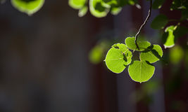 Aspen leaf. Focus on edge of leaf with soft green in background, Selective Focus Royalty Free Stock Photos