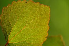 Aspen leaf-green background Royalty Free Stock Photo