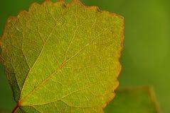Aspen leaf-green background. Wonderful Aspen leaf with many veins and with green background Royalty Free Stock Photo