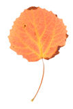 Aspen leaf isolated Royalty Free Stock Photos