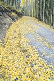 Aspen Leaf Litter. Leaf litter from quaking aspens cover a mountain road near Flagstaff, Arizona Royalty Free Stock Photos