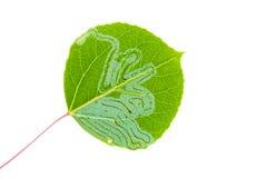 Aspen leaf miner. Larvae (Phyllocnistis populiella) at work isolated on white Royalty Free Stock Photography