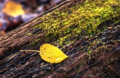 Aspen Leaf on Mossy Log stock image