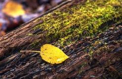 Aspen Leaf på mossig journal Fotografering för Bildbyråer