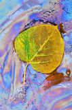 Aspen Leaf and Plant Oils. Autumn aspen leaf (Populus tremuloides) resting in naturally occurring plant oils at edge of marsh southwest Michigan, USA Royalty Free Stock Photography