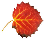 Aspen leaf Stock Image