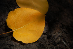 Aspen Leaf in Relief. Photo of orange colored aspen leaf on a background of lava rock Stock Image