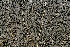 Aspen leaf skeleton. Skeleton aspen leaf natural abstract texture Stock Photo
