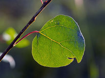 Aspen leaf with veins. A green quaking aspen leaf on a tree in the Sangre de Cristo Mountains Royalty Free Stock Image