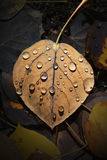 Aspen Leaf with Water Drops. Fallen Dead Aspen Leaf that is wet with water drops Royalty Free Stock Image