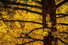 Aspen Leaves in Autumn Color Lizenzfreies Stockfoto