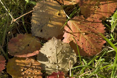 Aspen leaves background Royalty Free Stock Images