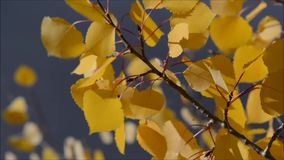 Aspen Leaves Blowing en el viento almacen de video