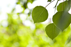 Aspen Leaves with Blurred Background Royalty Free Stock Image