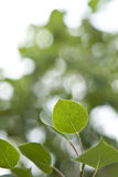 Aspen Leaves with Blurred Background Royalty Free Stock Photo