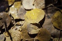 Aspen Leaves caido con rocío Fotos de archivo