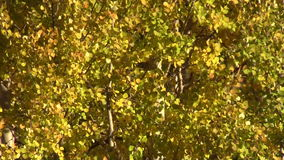 Aspen Leaves Close Up. Aspens flutter in the wind in fall stock video footage