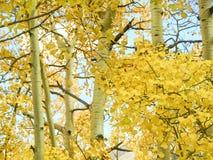 Aspen leaves Colorado. Fall Aspen leaves along the Million Dollar Highway near Durango Colorado stock photos